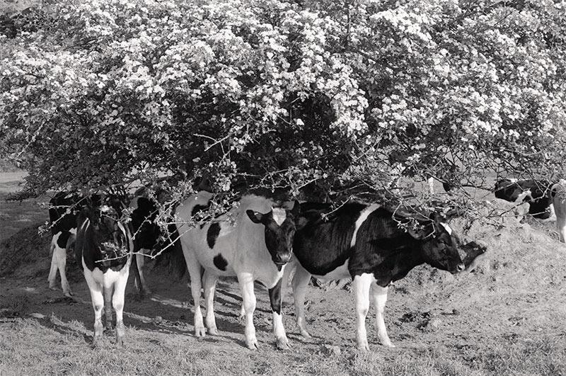Cattle Under Flowers by unkown