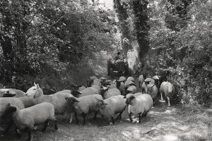 Sheep Herding by unkown